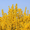 forsythia-x-intermedia-th