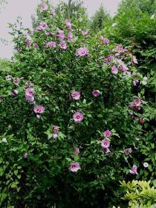 hibiscus-syriacus-01