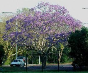 jacaranda-mimosifolia-01