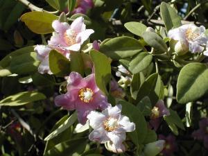 lagunaria patersonii arbol3 web