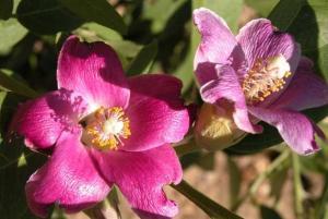 lagunaria patersonii flor1 web