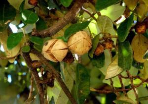 lagunaria patersonii fruto 2 web