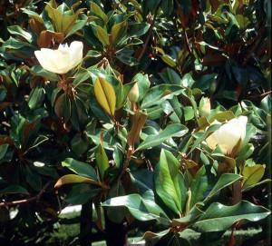 magnolia-grandiflora-02