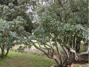 pistacesa-lentiscus-01
