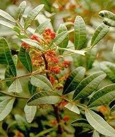 pistacia-lentiscus-hojas (1)