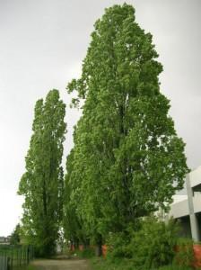 populus-nigra-01