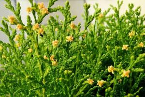 thuya-orientalis-aurea-nana-01