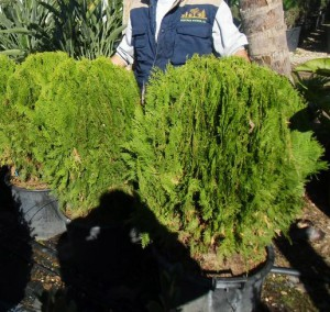 thuya-orientalis-aurea-nana-02